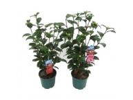 Декоративные растения,кустарники.
