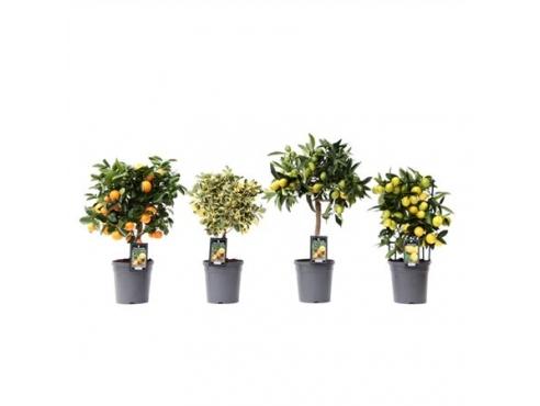Цитрус микс подарочный набор Citrus Mix (4 Varieties)