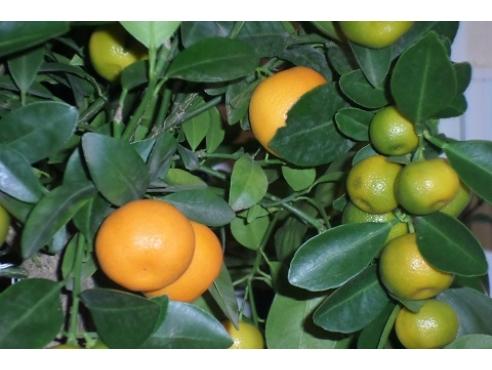 """Цитрус """"Каламондин"""" Citrus Calamondin On Stem"""