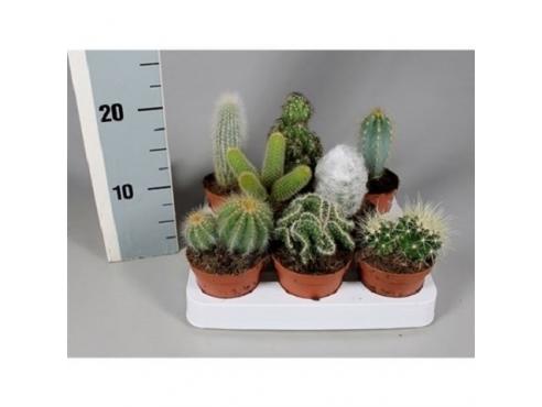 Кактус микс Cactus Mix