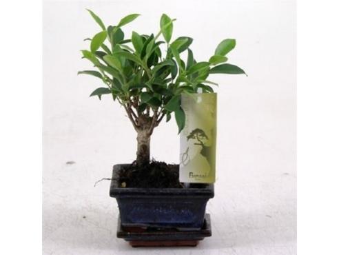 Бонсаи фикус Bonsai Ficus