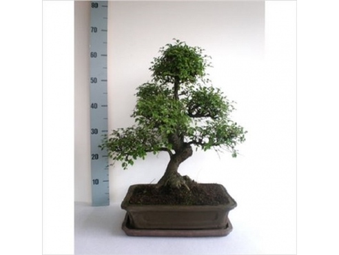 Бонсаи Индор Bonsai Indoor
