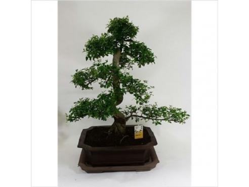 Бонсаи Фикус  Ficus