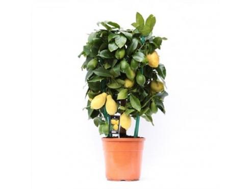 """Цитрус лимон """"Цилиндр"""" Citrus Lemon Cilinder"""