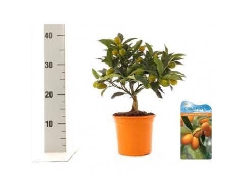 "Цитрус ""Кумкват"" подарочный набор Citrus Kumquat Mini Stem Green Fruits"