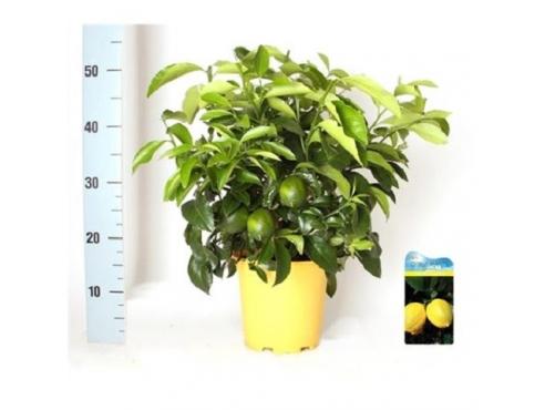 """Цитрус """"Лимон"""" кустовой Citrus Lemon Bush"""
