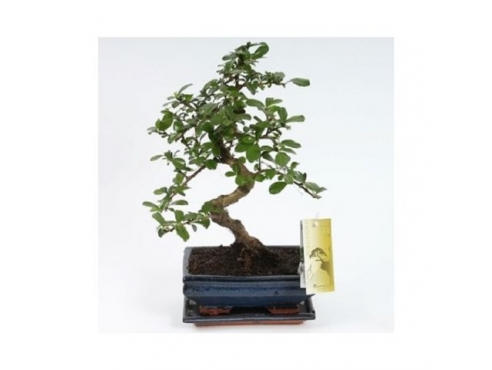 "Бонсаи ""Кармона S-шейп"" Bonsai Carmona S-shape"