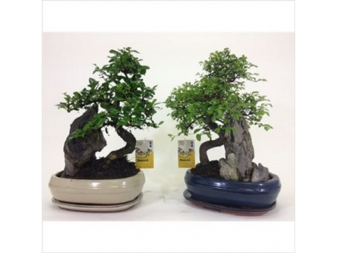Бонсаи с камнем Bonsai Mix With Rock