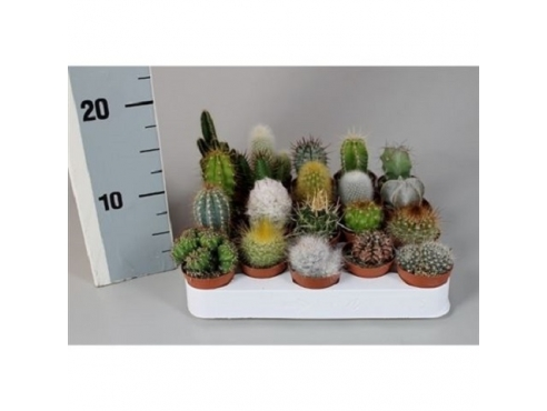 Кактус микс Cactus Mix Luxe