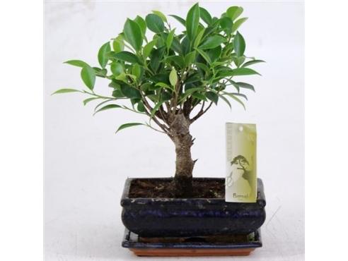 Бонсаи фикус Болл-шейп Bonsai Ficus Ball-shape