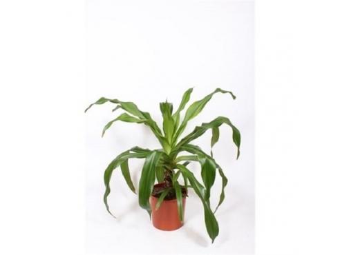 Кринум азиатский Crinum Asiaticum