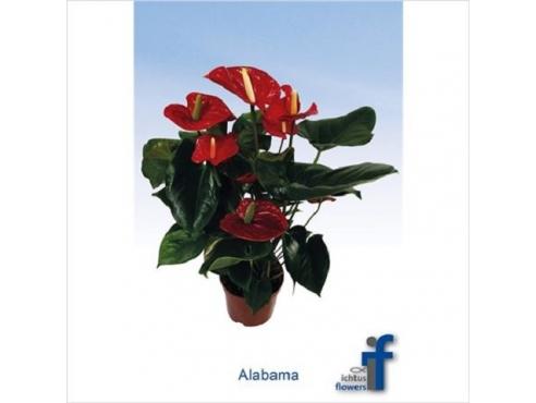 Антуриум Алабама 5+ Anth An Alabama 5+