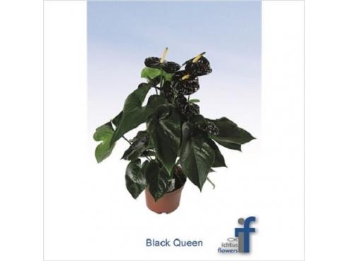 Антуриум Блэк Квин 6+ Anth An Black Queen 6+