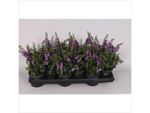 Ангелония пурпурная Angelonia Purple