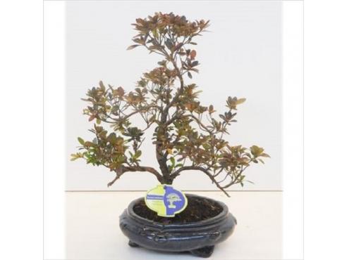 Бонсаи Родонедрон Bonsai Rhododendron
