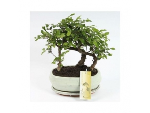 "Бонсаи ""Лес Зелькова"" Bonsai Forest Zelkova"