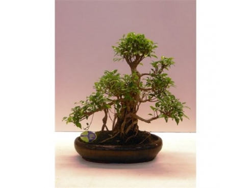"Бонсаи фмкус ""Ретуса"" Bonsai Ficus Retusa"