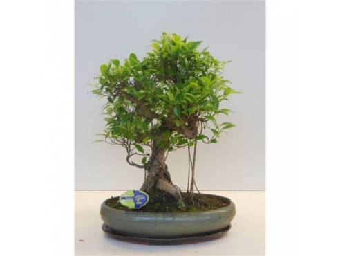 "Бонсаи фикус ""Ретуса"" Bonsai Ficus Retusa"