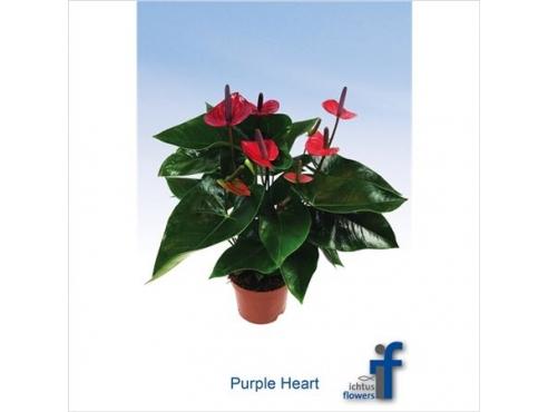 Антуриум Пурпл Херт 5+ Anth An Purple Heart 5+