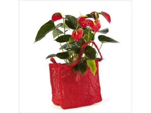 Антуриум Беби Бумер 5+ в подарочной сумке Anth An Baby Boomer In Jute Present Bag 5+