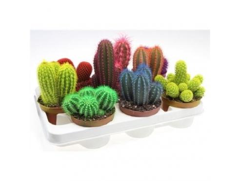 Кактус цветной Cactus Mix Rainbow