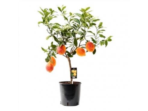 """Цитрус """"Красный лимон"""" Citrus Red Lemon On Stem"""