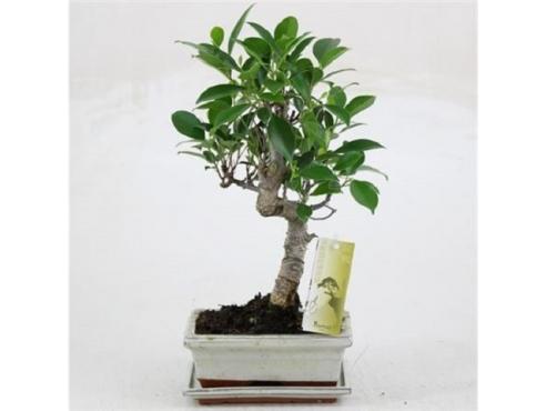 Бонсаи фикус Гинсенг $-шейп Bonsai Ficus Ginseng S-shape