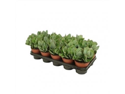 Крассула древовидная Crassula Arborescens (amigo)