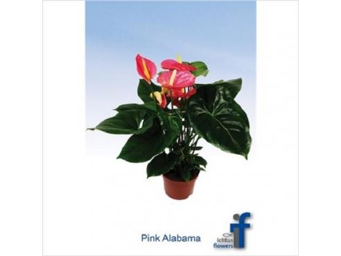 Антуриум Пинк Алабама 5+ Anth An Pink Alabama 5+