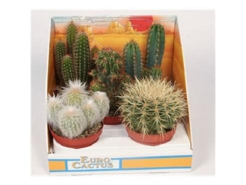 Кактус микс Cactus Mix Showbox