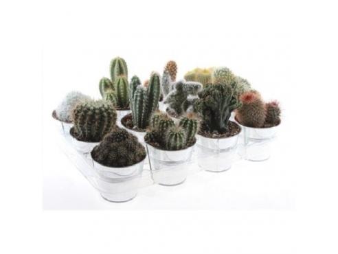 Кактус микс Cactus Mix In Zink