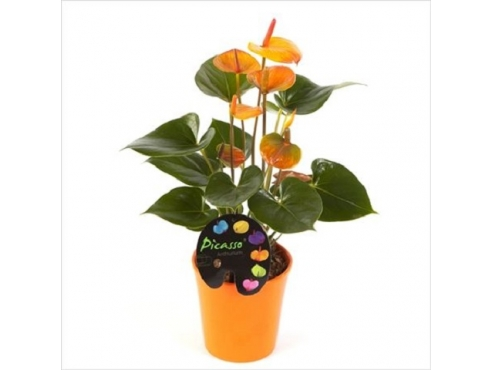 Антуриум Пикассо Оранж 5+ в керамике Anth An Picasso Orange In Boston Pot 5+