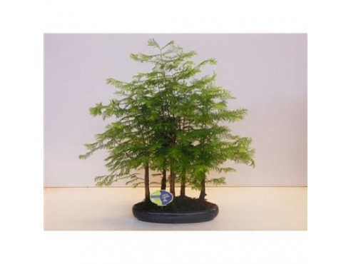"Бонсаи ""Метасеквойя Форест"" Bonsai Metasequoia Group Forest 5 Stem"