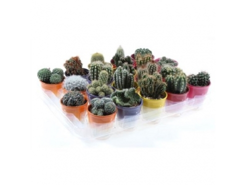 Кактус микс Cactus Mix In 2 Coloured Pot