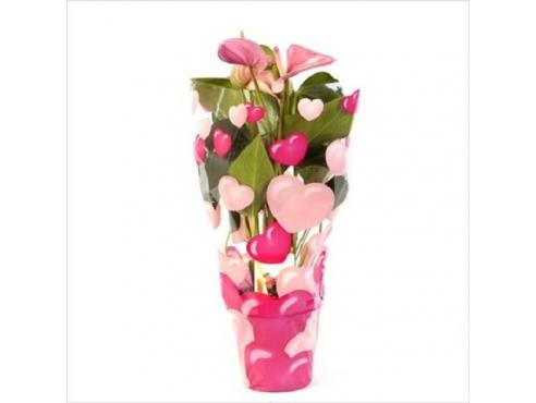 Антуриум Принцесса Амалия Пинк 5+ Anth An Princess Amalia Pink In Hearts Sleeve 5+