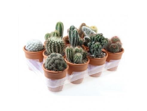 Кактус микс Cactus Mix In Terracotta Pot