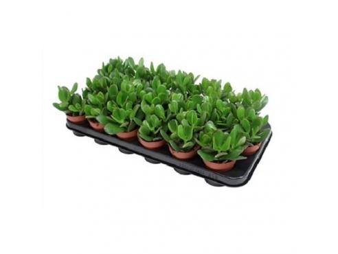 Крассула овальная португальская Crassula Ovata Portugal Plant