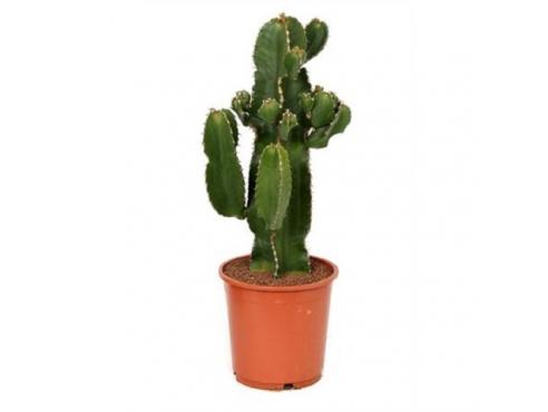 """Кактус """"Эуфобия Эритрея"""" Cactus Euphorbia Erytrea Canarias"""