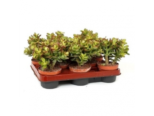 "Крассула ""Минор Канариас"" на штамбе Crassula Minor Canarias On Stam"