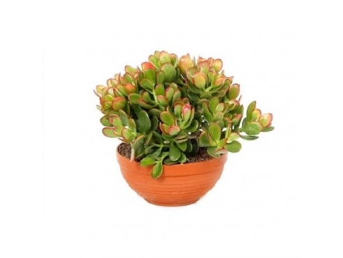 "Крассула ""Сансет Канариас"" в плошке Crassula Sunset Canarias In Bowl"