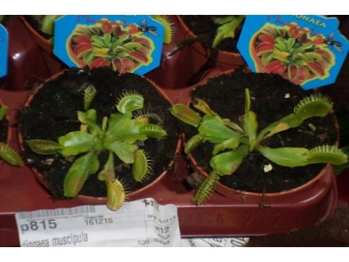 """""""Дионея Мусципула"""" Dionaea muscipula"""