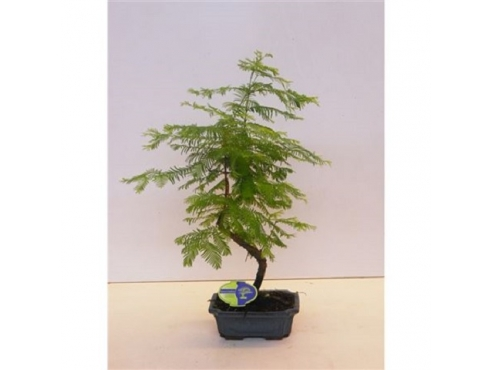 "Бонсаи ""Метасеквойя"" Bonsai Metasequoia"