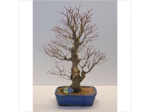 Бонсаи Ашер Палматум Bonsai Acer Palmatum