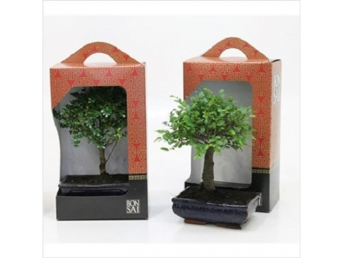 Бонсаи микс подарочные Bonsai Mix In Gift Box In Ceramic