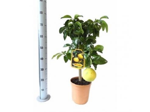 "Цитрус ""Грейпфрут"" Citrus Pompelmo On Stem (grapefruit)"