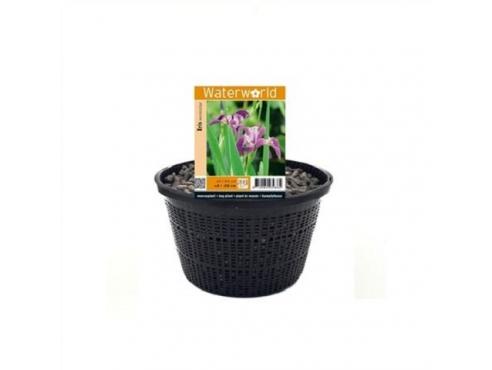 Ирис разноцветный Iris Versicolor - Mand 22 Cm
