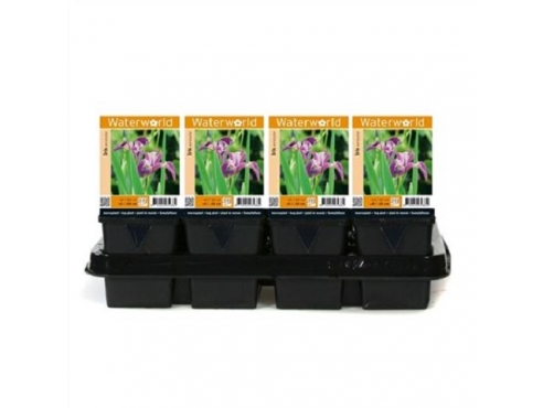 Ирис разноцветный Iris Versicolor - Pot 9 Cm