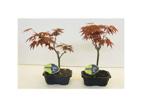 "Бонсаи ""Ашер Палматум Ред Уайн"" Bonsai Acer Palmatum Red Wine"