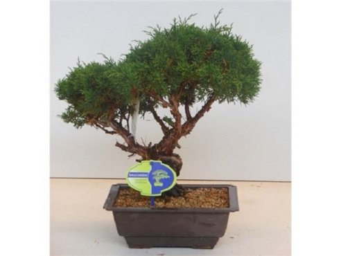 "Бонсаи ""Юниперус Чайненсис"" Bonsai Juniperus Chinensis"