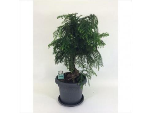 Бонсаи Араукария Каннингема Bonsai Araucaria Cunninghamii In Plastic Pot